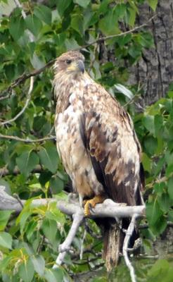 071512-13_Bald_Eagle.jpg