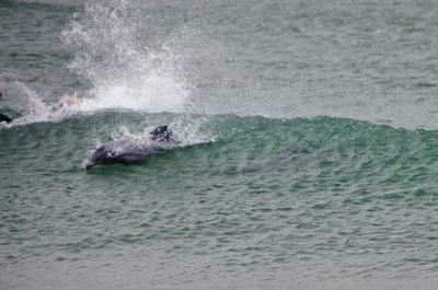 Hectors_dolphins_030312-02.jpg