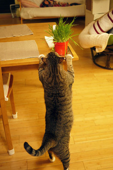 Tora_eats_cat_grass_080710-01.jpg