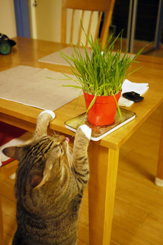 Tora_eats_cat_grass_080710-02.jpg