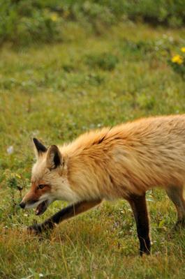 denali_072112-07_fox.jpg