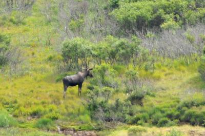 denali_072112-17_moose.jpg